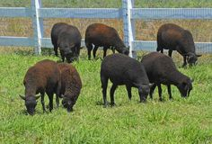 Free Sheep In Pasture Royalty Free Stock Images - 1230089