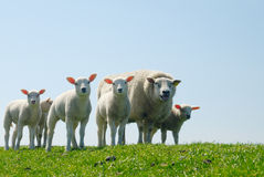 Sheep In Spring Stock Images