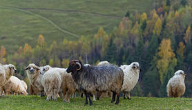 Sheep In The Mountains In Autumn Royalty Free Stock Photo