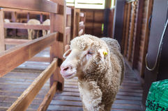 Sheep Inside Barn Royalty Free Stock Images