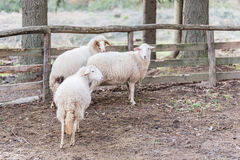 Sheep inside the fence Stock Photography