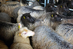 Sheep inside shearing shed on farm Royalty Free Stock Photos