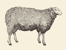 Sheep Intage Vector Illustration of Engraving Royalty Free Stock Photos