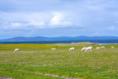 Sheep in Iona, a small island in the Inner Hebrides off the Ross of Mull on the western coast of Scotland. Iona is a small island in the Inner Hebrides off the royalty free stock image
