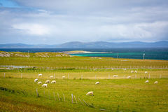 Sheep in Iona, a small island in the Inner Hebrides off the Ross of Mull on the western coast of Scotland. Stock Photo