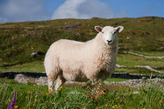 A sheep in Ireland royalty free stock image