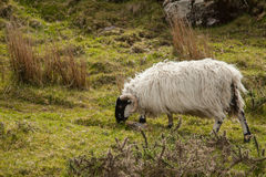 Sheep, Ireland Royalty Free Stock Image