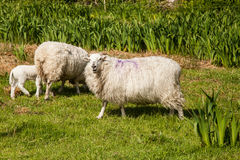 Sheep, Ireland Stock Photography