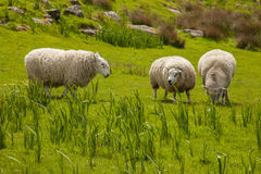 Sheep, Ireland Stock Images