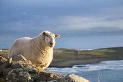 Sheep in Ireland. A ewe standing near a cliff in the west coast of Ireland. The atlantic and green fields in the background stock images
