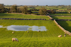 Sheep in Ireland. Sheep grazing in a meadow in Cloughanover, near Headford in County Galway, Ireland Royalty Free Stock Photos
