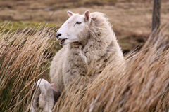 Sheep in Ireland Stock Images