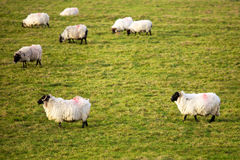 Sheep. In Ireland. Shot in Trim, Co. Meath royalty free stock photography