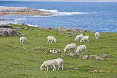Sheep on Irish Coastline Stock Photo