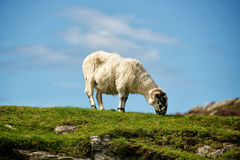Sheep. Irish sheep grazing on a sunny day stock photo