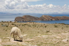 Sheep on Isla del Sol - Titicaca Stock Photos