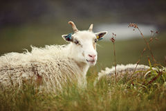 Sheep on the island of Runde. In Norway Royalty Free Stock Images