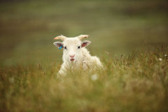 Sheep on the island of Runde. In Norway Royalty Free Stock Photography