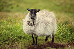 Sheep on the island of Runde. In Norway Royalty Free Stock Photo