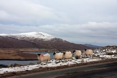 Sheep on the Isle of Harris Stock Images