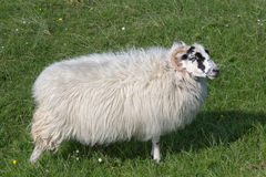 Sheep on Isle of Harris Royalty Free Stock Image