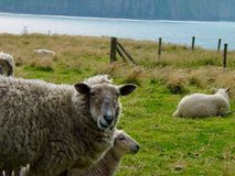 Sheep on the Isle of Hoy Stock Photo