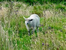 Sheep on the Isle of Hoy Royalty Free Stock Photo