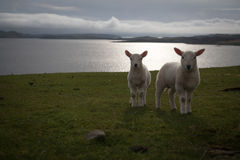 Sheep in Isle of Skye, Scotland. Stock Photography