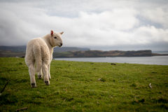 Sheep in Isle of Skye, Scotland. Stock Photos