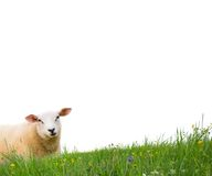 Sheep isolated Royalty Free Stock Images