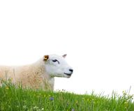 Sheep isolated. Sheep with grass isolated on white Stock Image