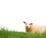 Sheep isolated Stock Photos