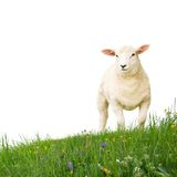 Sheep isolated. Sheep with grass isolated on white Royalty Free Stock Photo