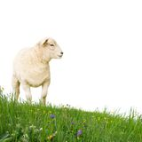 Sheep isolated Royalty Free Stock Photography