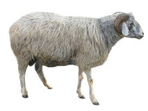 Sheep isolated over white. Sheep in front of a white background royalty free stock photo