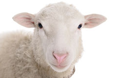 Sheep isolated on white. Background stock photography