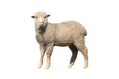 Sheep isolated. On white background royalty free stock images