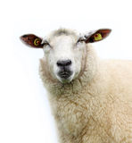 Sheep isolated... Royalty Free Stock Photos