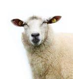 Sheep isolated... Royalty Free Stock Photos