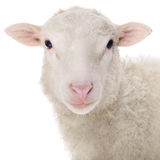 Sheep isolated on white. Background royalty free stock photography