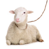 Sheep isolated on white Royalty Free Stock Images