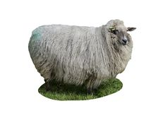 Sheep isolated on white background Stock Photography