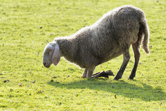 Sheep on its knees Royalty Free Stock Photos