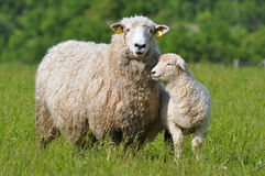 Sheep and its lamb Stock Photo