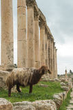 Sheep in Jerash Stock Image