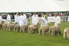 Sheep judging Royalty Free Stock Image