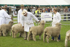 Sheep judging 2 Stock Images