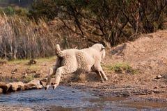 Sheep jump over water Stock Photos