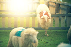 Sheep is jumping over the wall. In sheep competition royalty free stock images