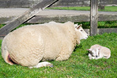 Sheep with just born lamb in spring Stock Photography